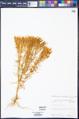 Centaurium beyrichii image