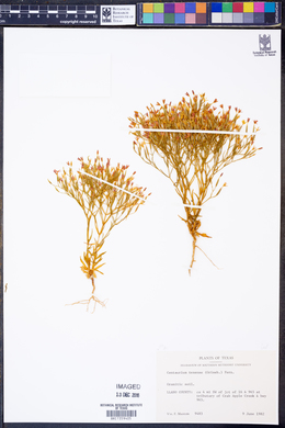 Centaurium texense image