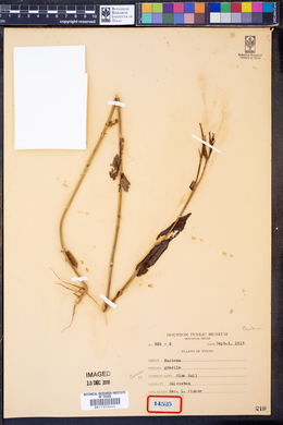 Image of Eustoma gracile