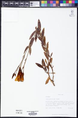 Eustoma grandiflorum image