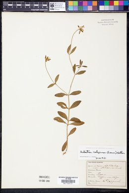 Image of Sabatia calycosa