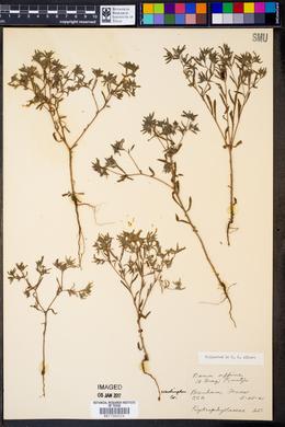 Image of Nama affinis