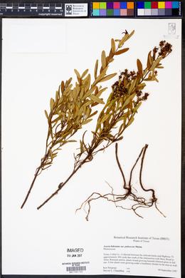 Acacia bidentata image