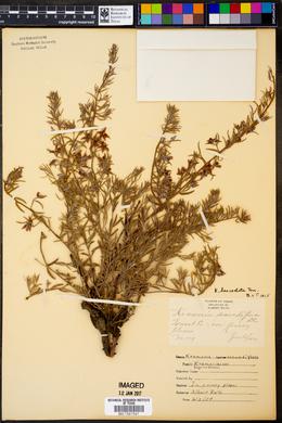Krameria lanceolata image