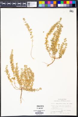 Hedeoma nana image