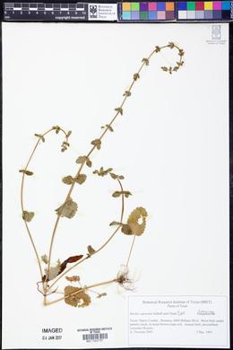 Stachys crenata image
