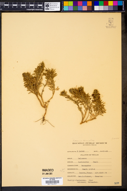 Teucrium laciniatum image