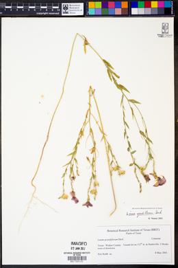 Linum grandiflorum image