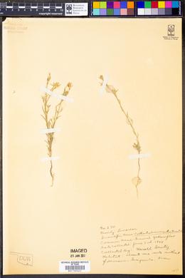 Image of Cathartolinum sulcatum