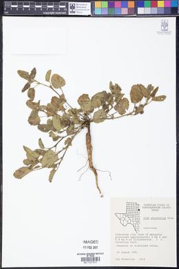 Rhynchosida physocalyx image