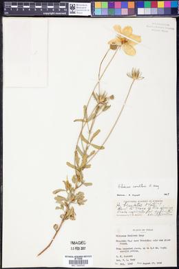 Hibiscus coulteri image