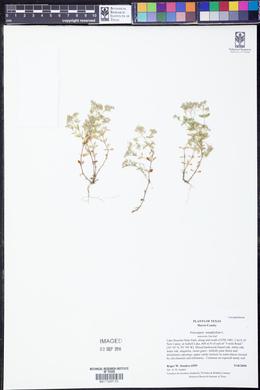 Polycarpon tetraphyllum image