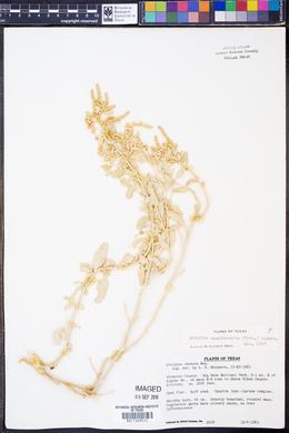 Atriplex acanthocarpa image