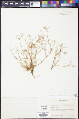 Spergula platensis image