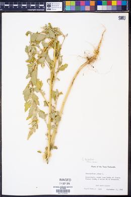 Chenopodium berlandieri image