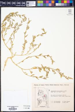 Chenopodium desiccatum image
