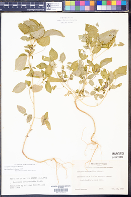 Acalypha ostryifolia image