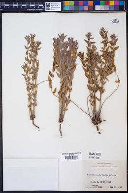 Euphorbia acuta image
