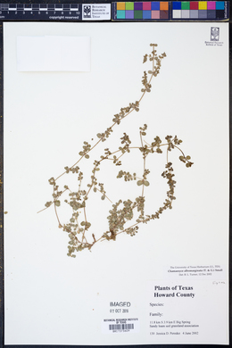 Euphorbia albomarginata image