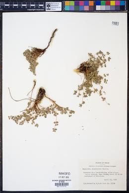 Chamaesyce cinerascens image