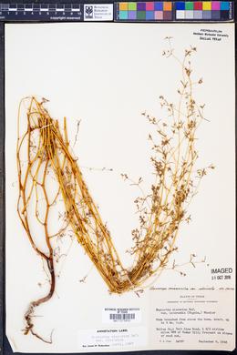Chamaesyce missurica image