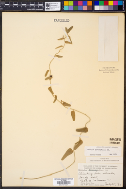 Cocculus diversifolius image