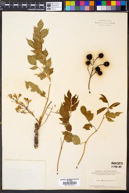 Azadirachta indica image