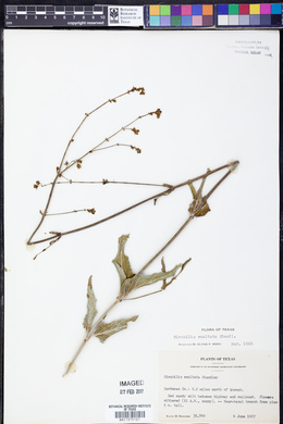 Mirabilis glabra image