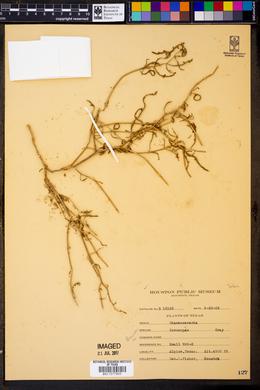Chamaesaracha coronopus image