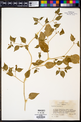 Capsicum baccatum image