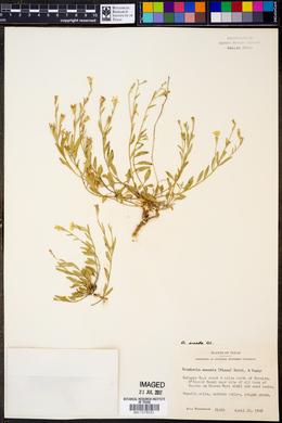 Image of Bouchetia anomala