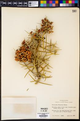 Holacantha stewartii image