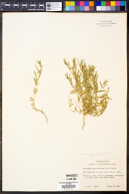 Hybanthus verticillatus var. verticillatus image