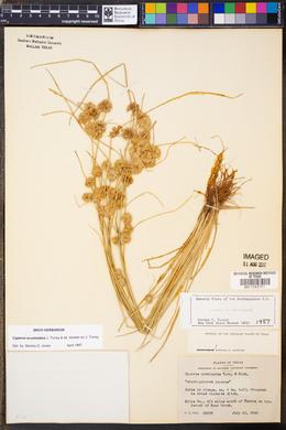 Cyperus acuminatus image