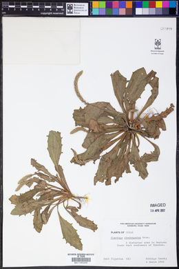 Plantago rhodosperma image