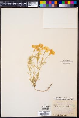 Phlox triovulata image