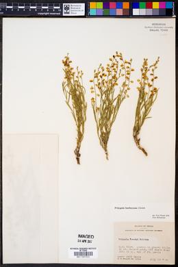 Polygala lindheimeri image