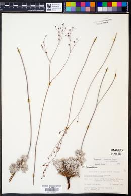Eriogonum tenellum image