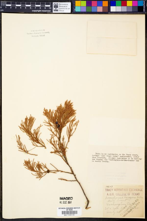 Juniperus lucayana image