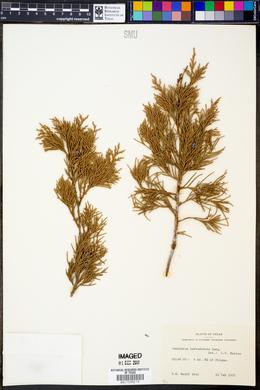 Juniperus barbadensis image