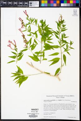 Anisacanthus quadrifidus image