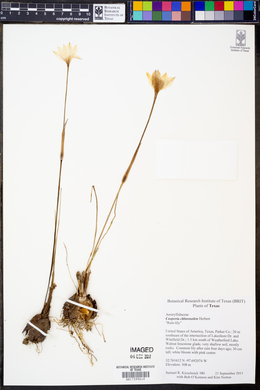 Zephyranthes chlorosolen image