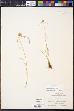 Cyperus seslerioides image