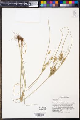 Cyperus sphaerolepis image
