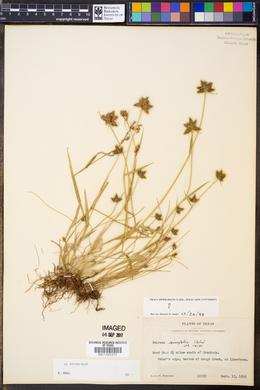 Fuirena simplex image