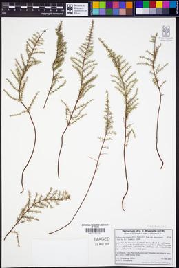 Pellaea mucronata subsp. mucronata image