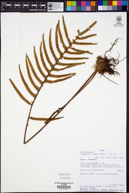 Pleopeltis remota image