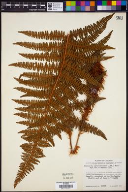 Polystichum speciosissimum image