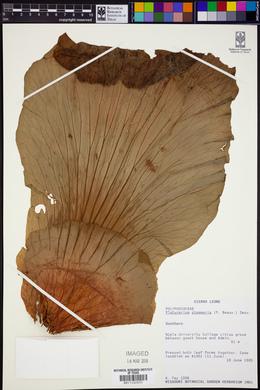 Platycerium stemaria image