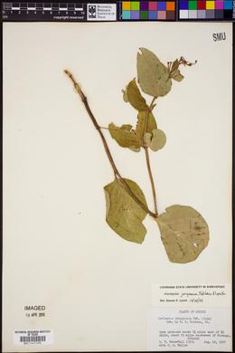 Asclepias jorgeana image